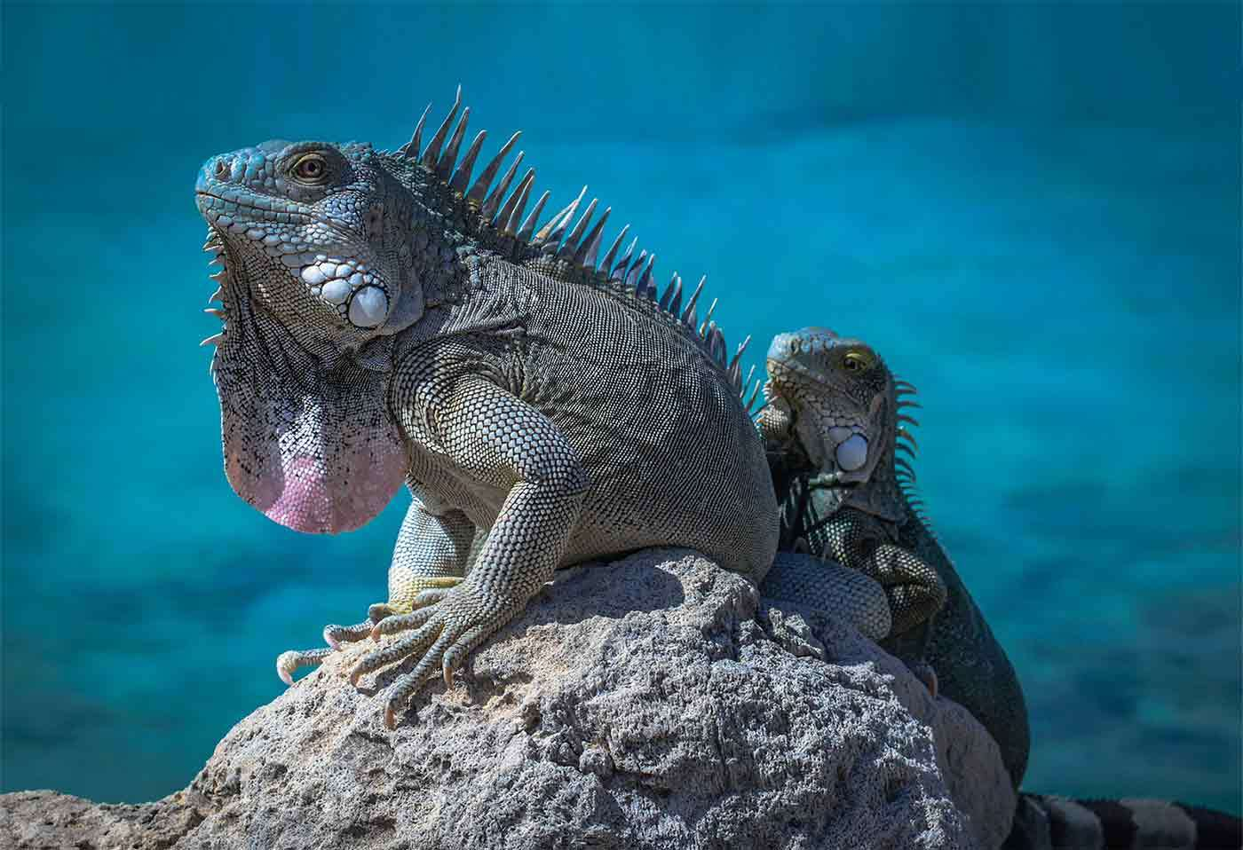 Vet Students and Faculty Support The Blue Iguana Recovery Project